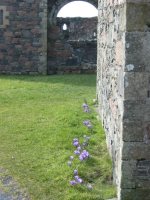 Crocuses in the ruins