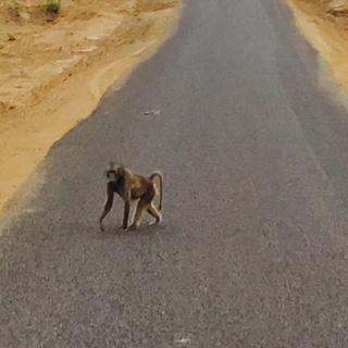baboon on road.JPG