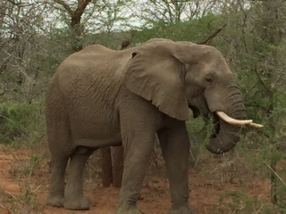 lge elephant.JPG