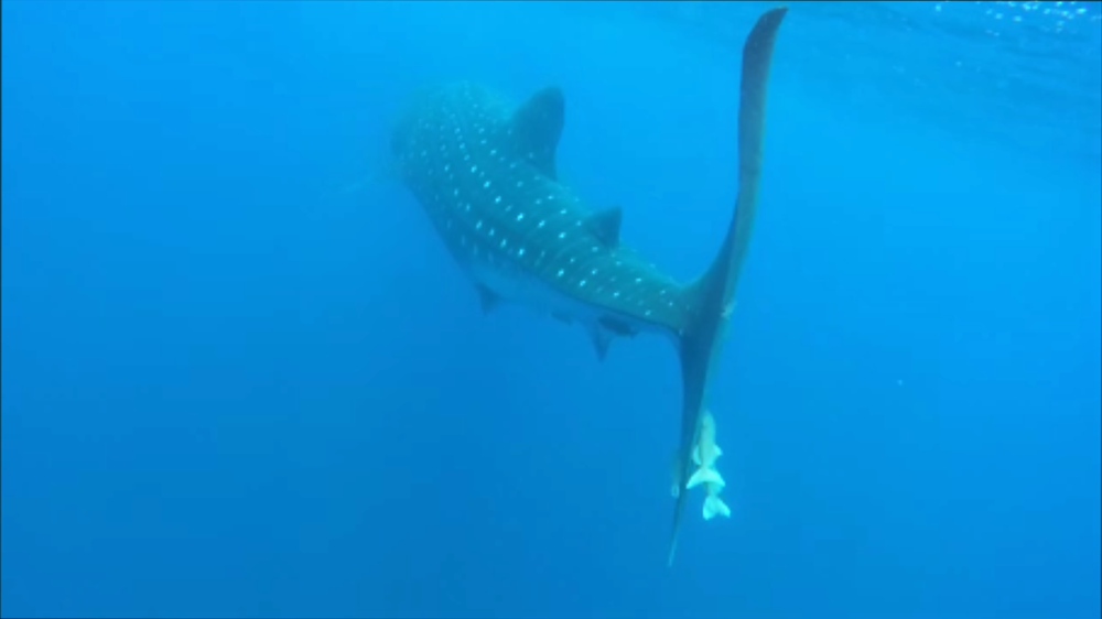 Whale shark St H.png