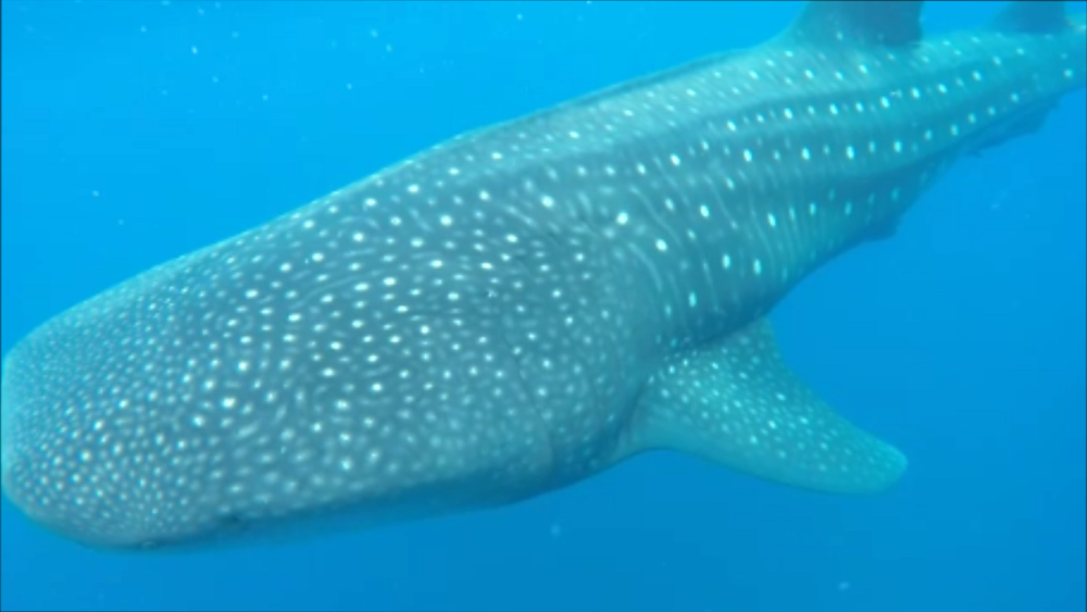 Whale shark St H 2.png