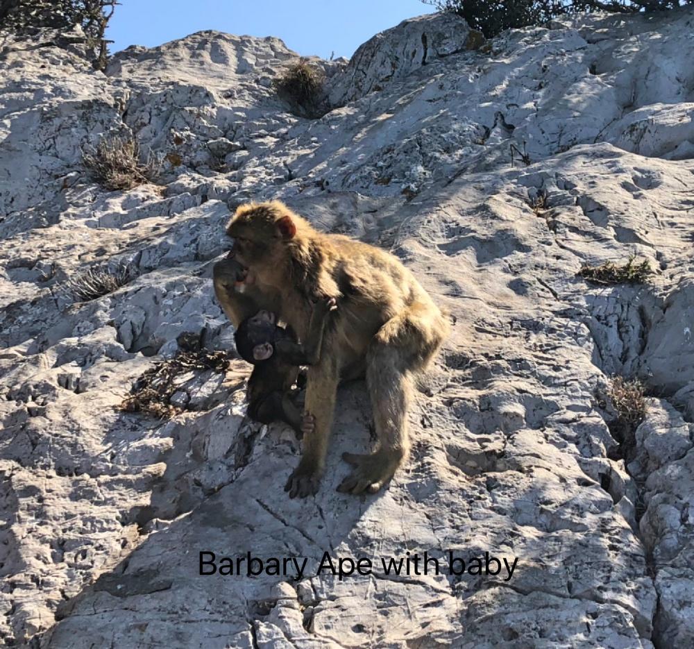 Ape and baby.jpg