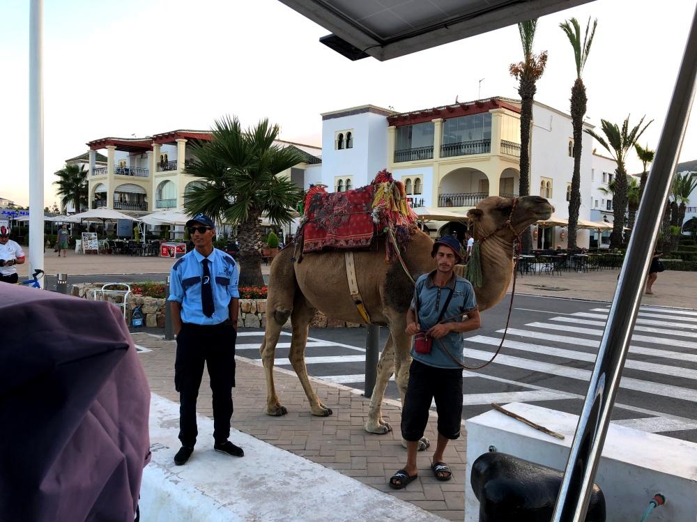 Smir camel 2.jpg