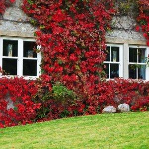 ivy-on-house-in-autumn-112881926976ezt.jpg