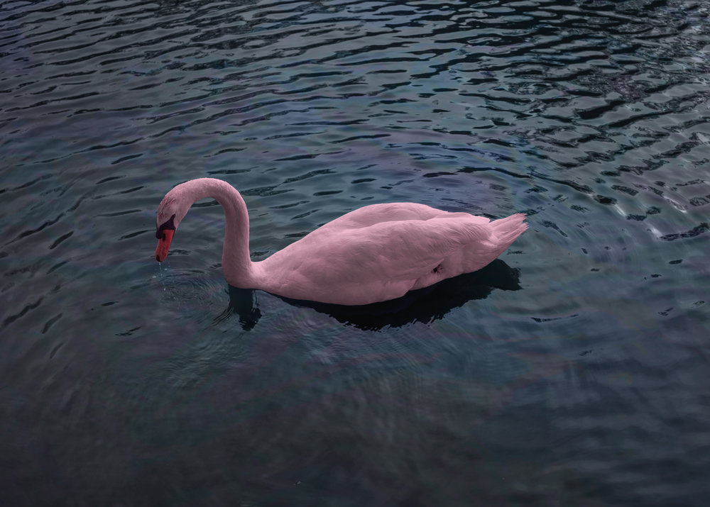 pink_swansmall.jpg
