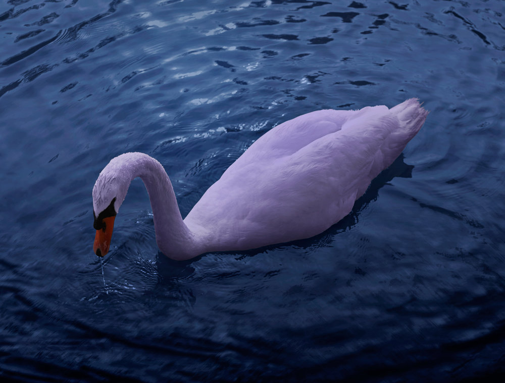 swan2_crop_small.jpg