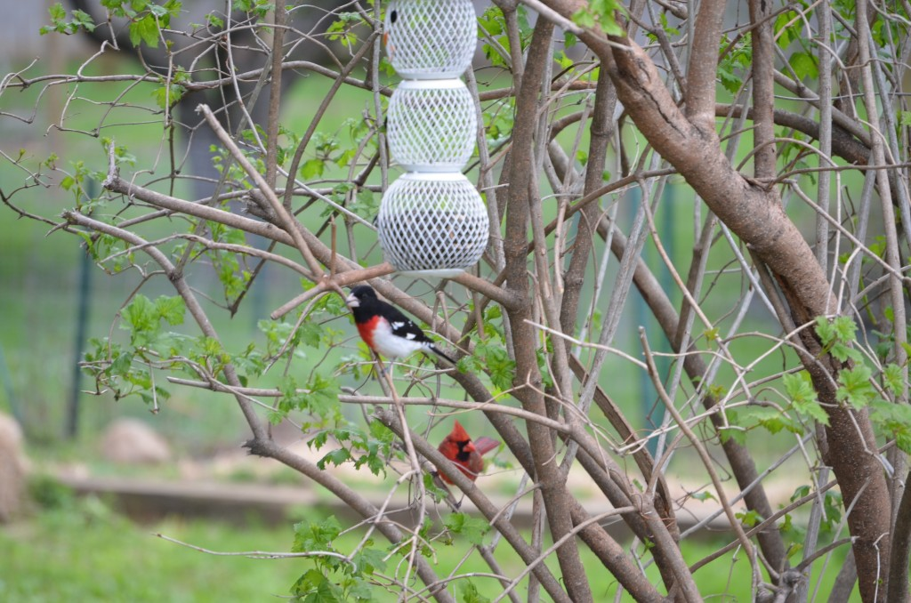 We've also been hosting some lovely feathered friends. Here is a Rose-breasted Grosbeak stopping by our feeder during his migration North.