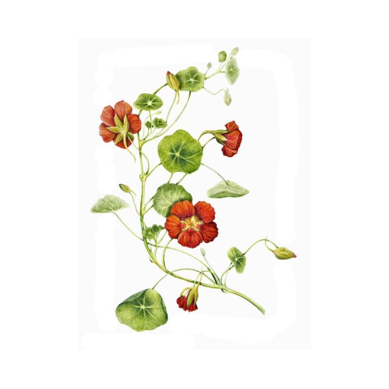 lichorerisnice-vetsi-semeno.jpg
