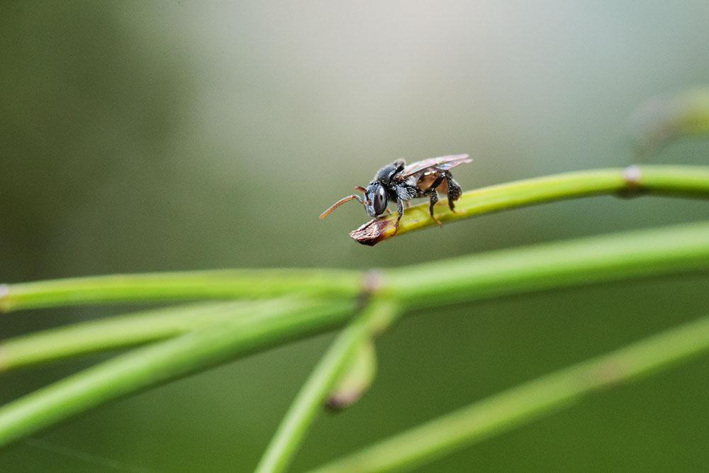 Meliponini bee