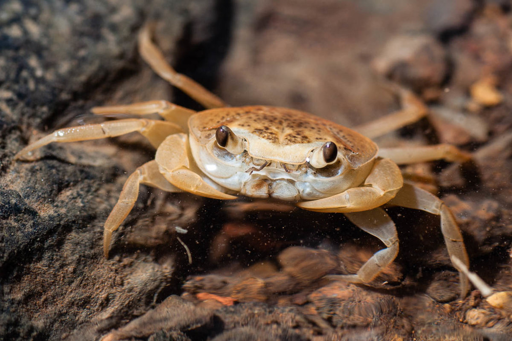 The freshwater crab population (expectedly) explodes during the monsoons.