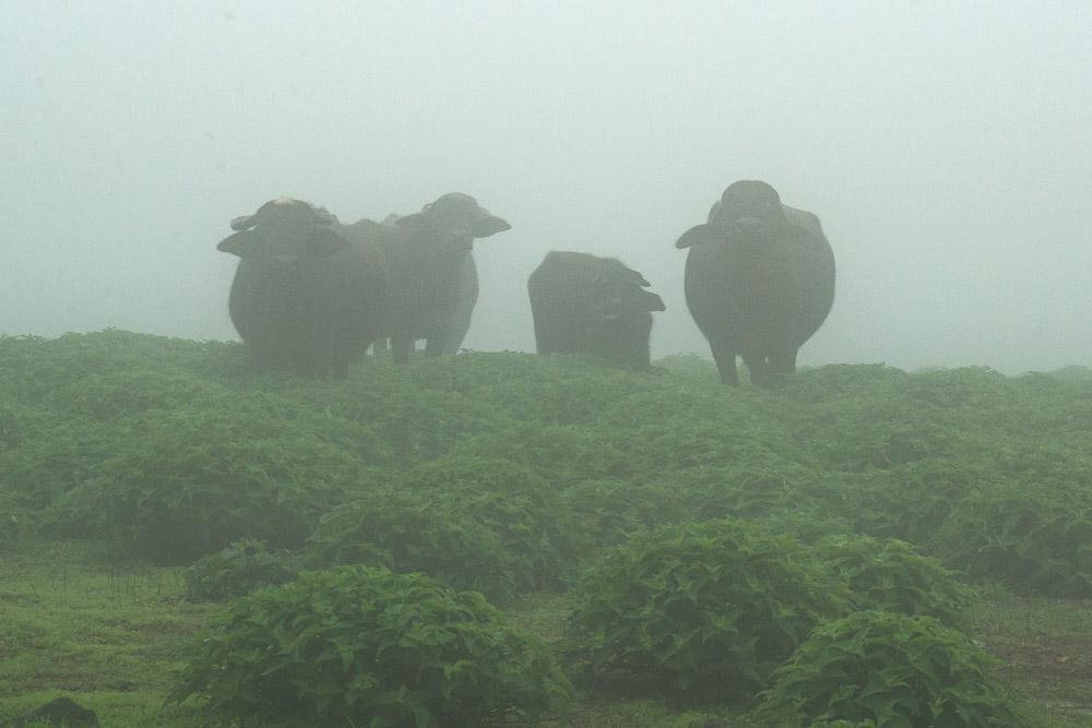 Curious buffalo