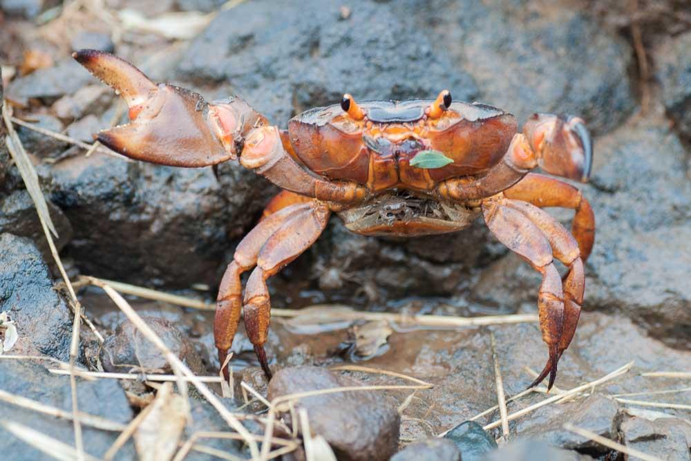 Crab female with juvenile.
