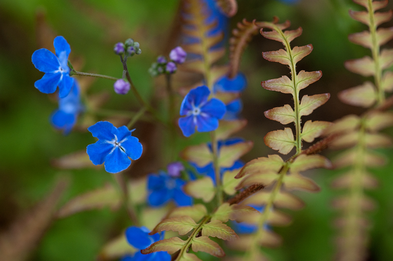 Forget-Me-Not & Autumn Fern