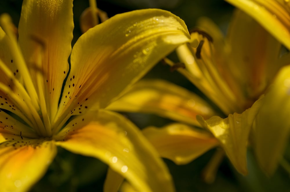#5 Yellow Lillies