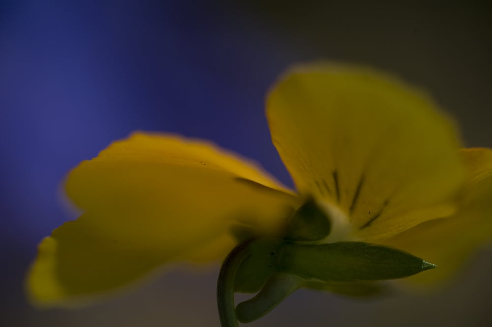 #42 Yellow Pansy