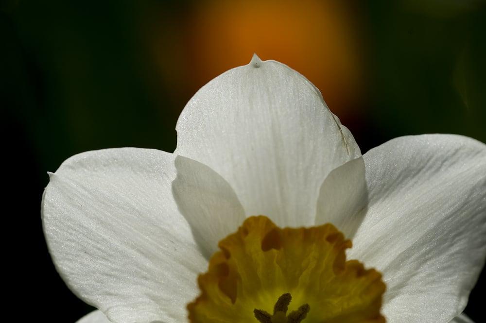 #43 Daffodil 3