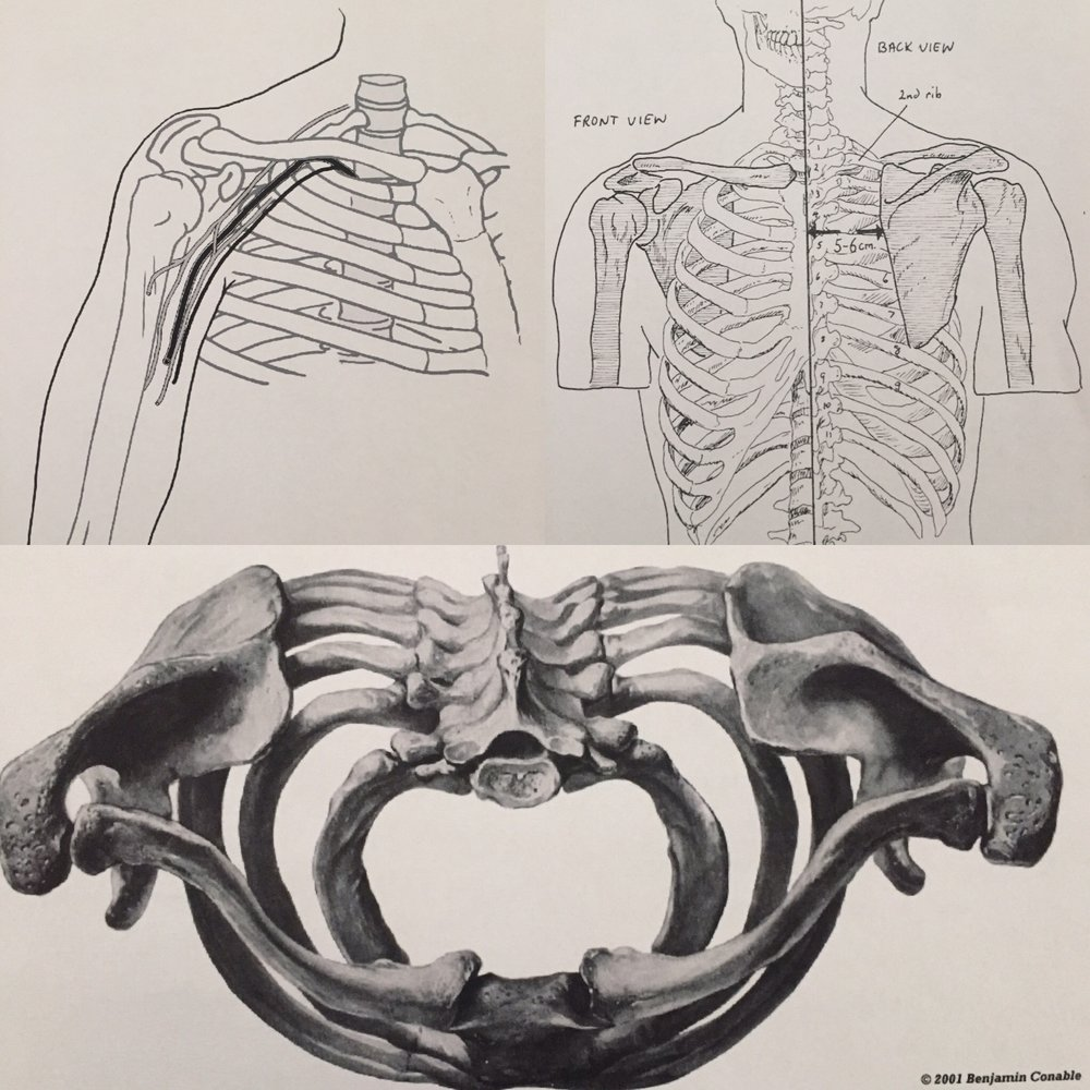 - I picked these three because they are a general view of how the arm relates to the rest of the torso. The top left picture shows the collarbone and how nerves and blood vessels travel underneath it. The top right picture is a front and back view of the torso. It displays how the collarbone and scapula places the glenohumeral joint out away from the ribs. The bottom photo is a bit to take in. It's a top down view of the collarbone, scapula, ribs and spine. Take notice of how the collarbones and scapula are shaped. Notice how they are curved and in no way straight or flat.