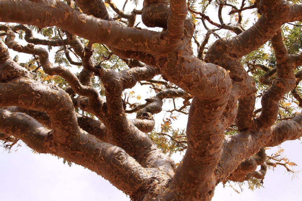This picture shows how the resin collects on the bark of the Boswellia tree on the Young Living Farm in Oman. Photo credit:    http://www.seedtoseal.com/en/salalah
