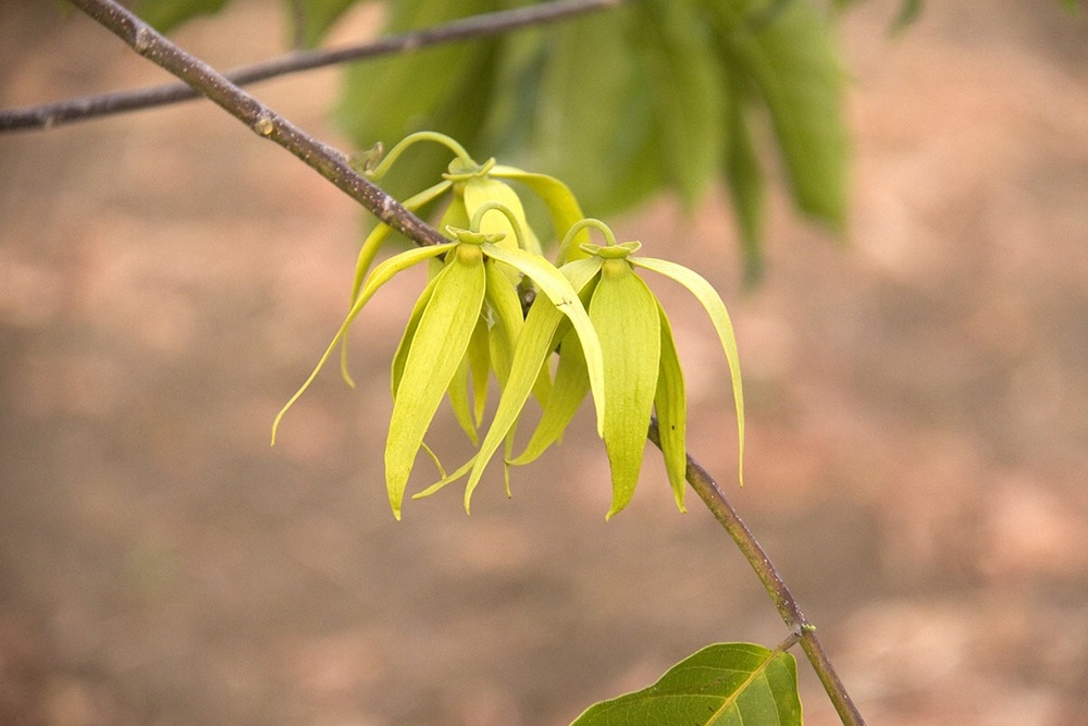A Ylang Ylang flower in bloom