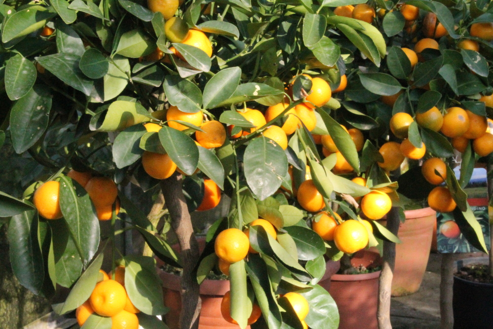 Staverton Nursery Citrus Plants
