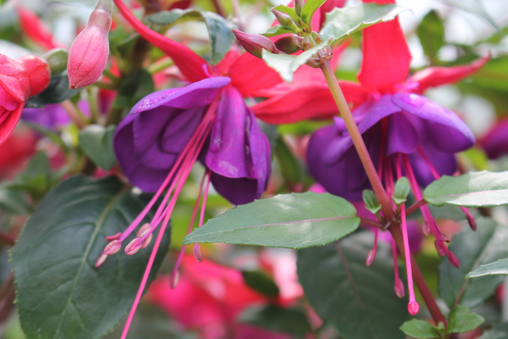 Staverton Nursery Home Grown Fuchsia