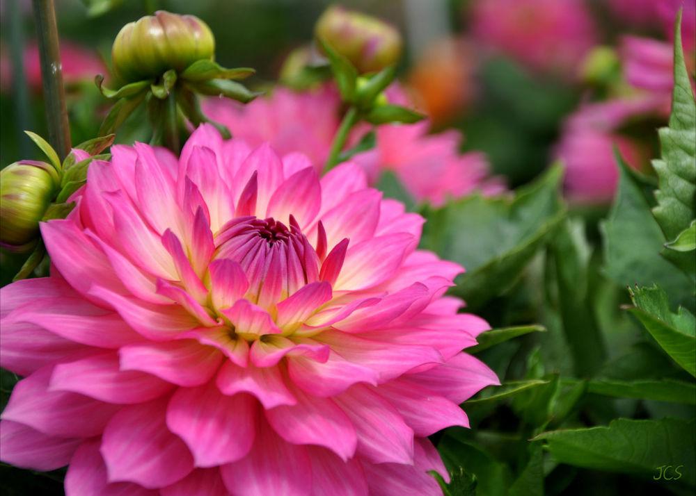 Large Pink Flower.jpg