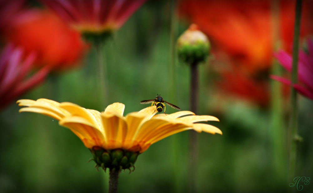 Hoverfly Colours.jpg