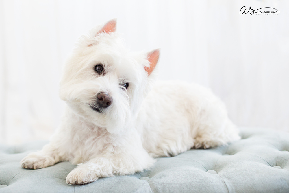 White dog | Pet photography in my Ardmore studio