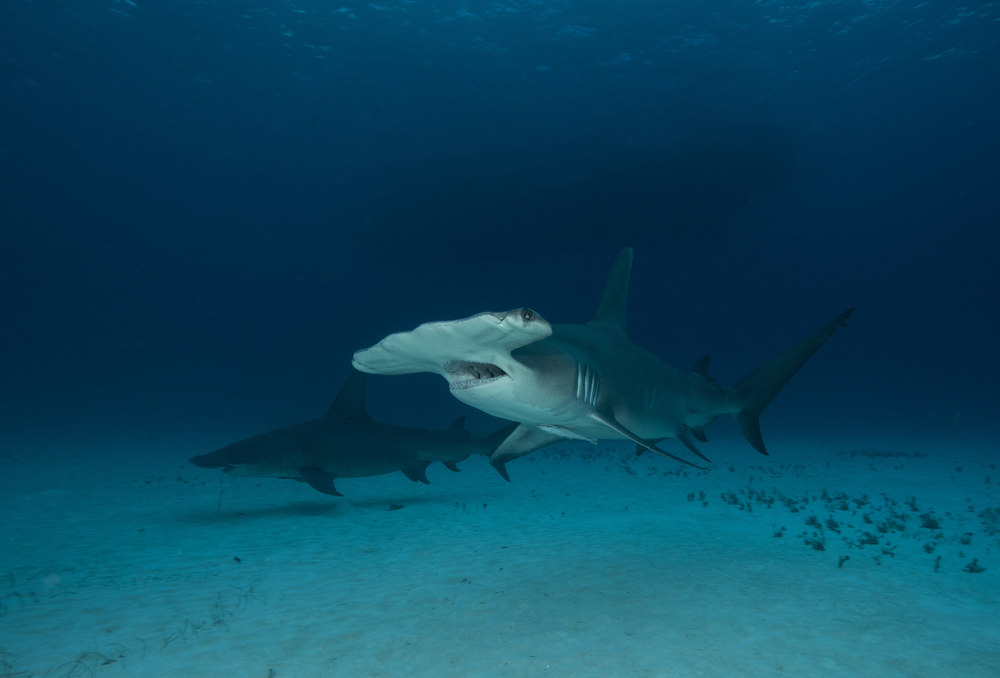 Two Hammerhead Sharks #1.jpg