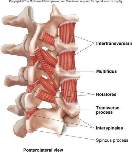 The multifidus are tiny but important stabilizing muscles. They are the antagonist to the rectus abdominus.