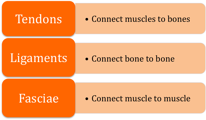 Three main types of Connective Tissues