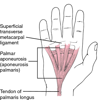 Palmar aponeurosis. Source: Free Dictionary and Dorland's 2000