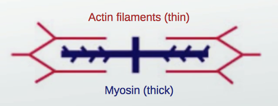 Muscles are made up of tubular protein fibers called myosin and actin.