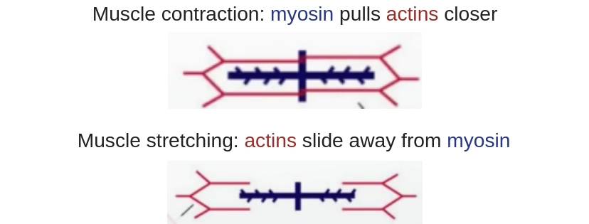 Muscle contraction_ myosin pulls actins closer-2.jpg