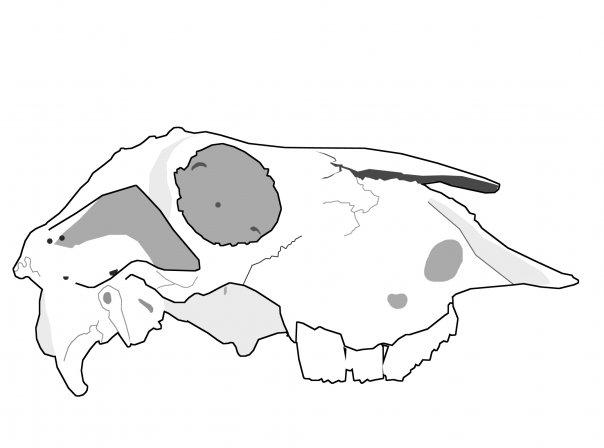 Tory+Woollcott+Cow+Skull.jpg