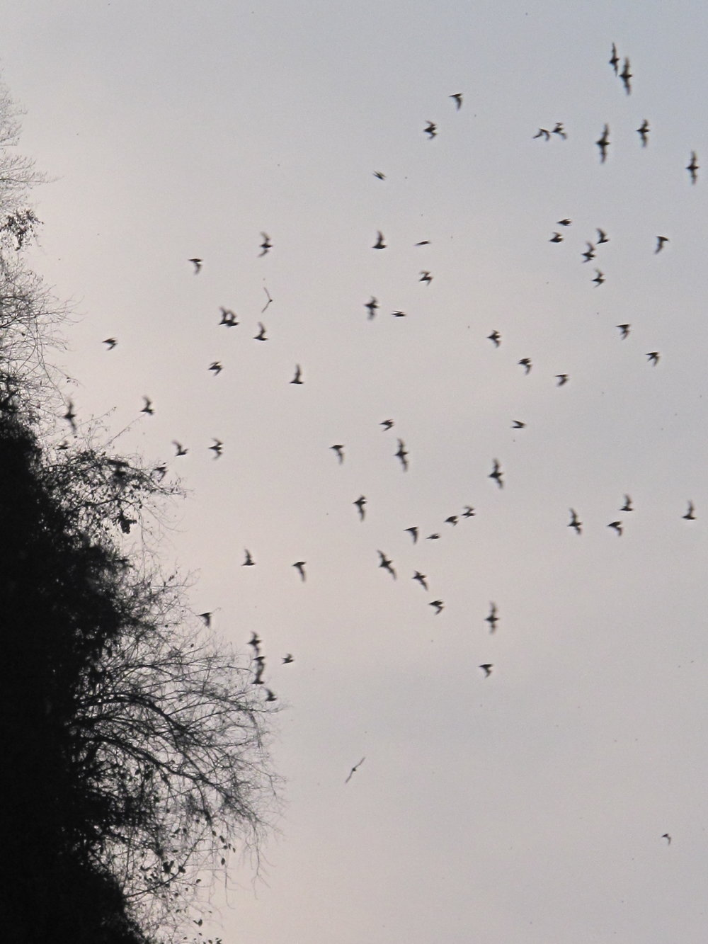 Bats flying out of a cave at Mt Sampeou, Battambang