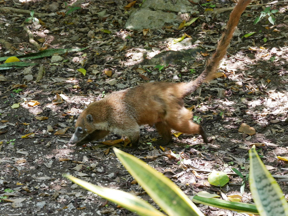 This coati was looking a little worse for wear. There were other, fluffier ones, but they were more reluctant tot be caught on camera