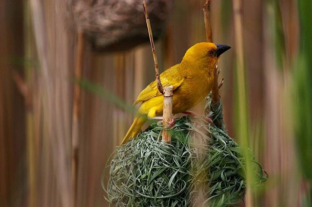 @wouter.veenstra shot this while on vacation in Saint Lucia, South Africa, with his #Canon 7D. He focused on the yellow weaver's nest and waited to release the shutter with #triggertrap until the bird landed in its nest again. #wildlife #photooftheday #exposure #capture #moment #photodaily #photogram #wildlifephotography #focus #photog #travel #explore #adventure #art #picoftheday #photography #camera #lens #potd