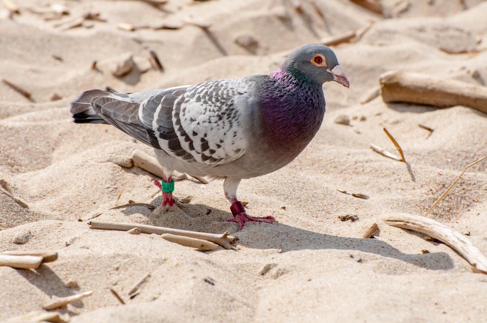 Piegon Bird - 140610 - DSC_1448-2.JPG