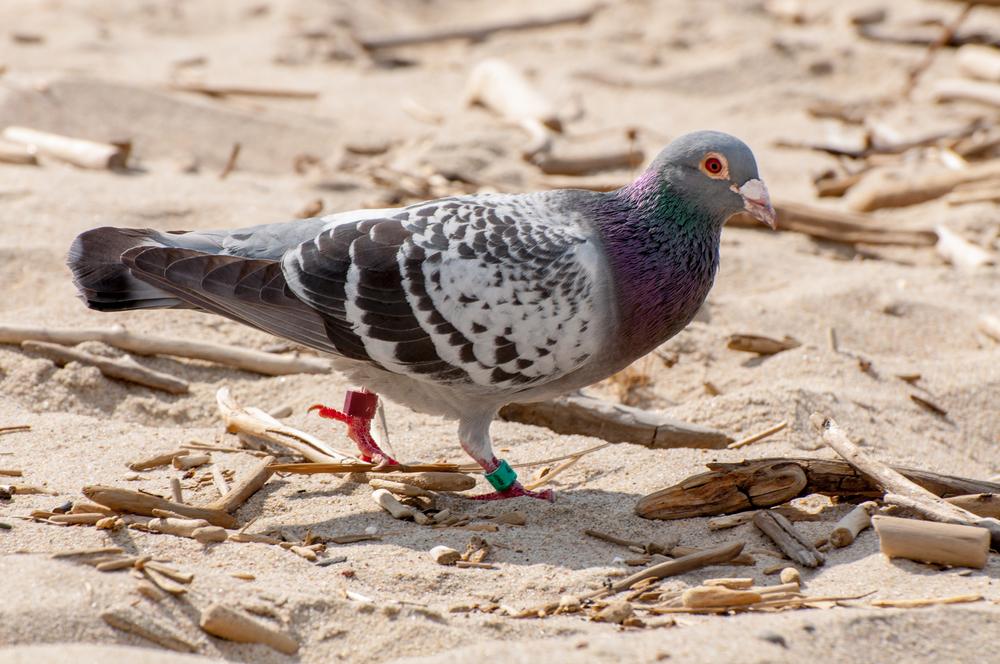Piegon Bird - 140610 - DSC_1452-2.JPG