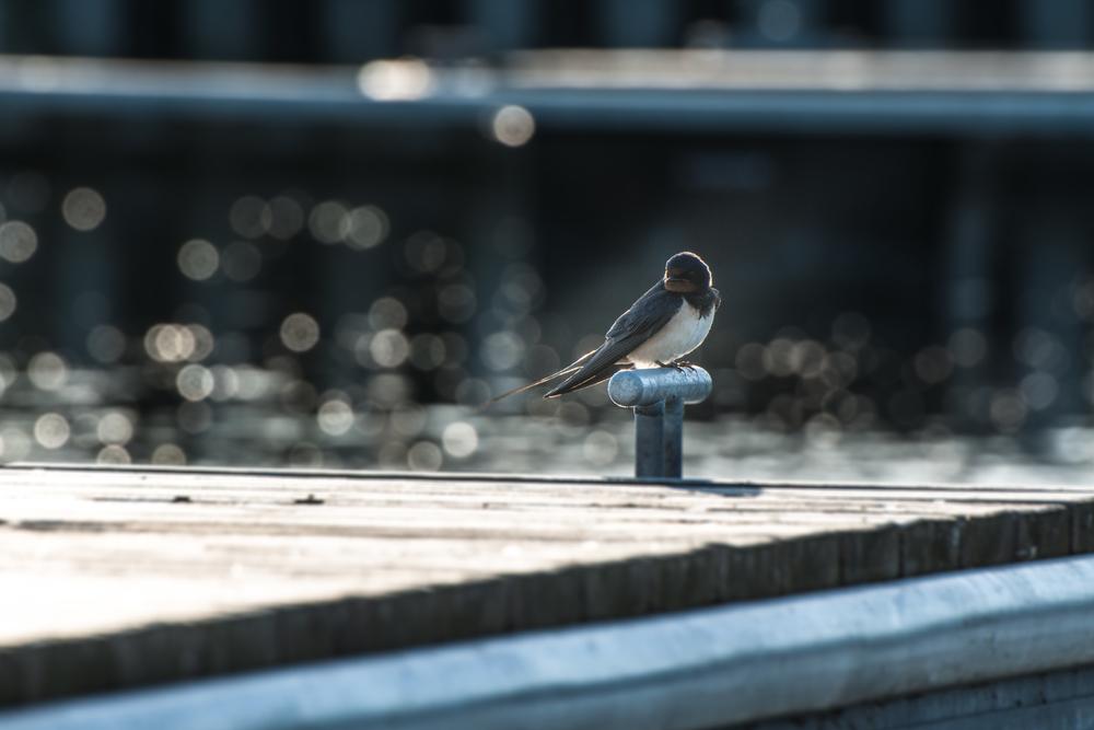 Swallow bird - 140609 - DSC_1406.JPG