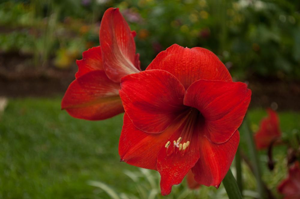 Kwiaty, Madera - 150420 - DSC_4156.JPG