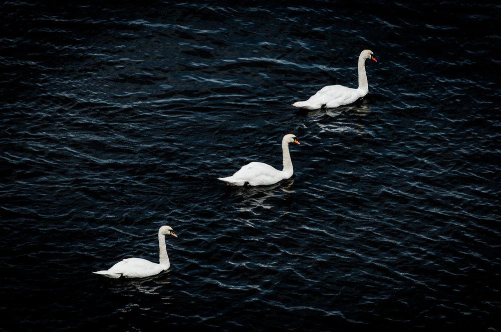 Swan Edin-170802-8561.jpg
