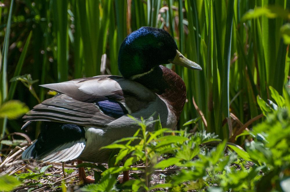ducks - 2018 - MAR_8427.jpg