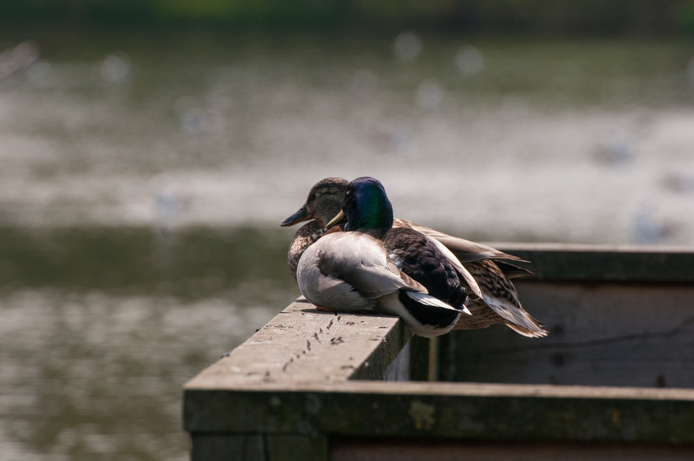 ducks - 2018 - MAR_8533.jpg