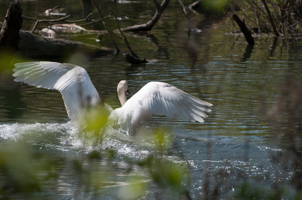 swan - 2018 - MAR_8524.jpg