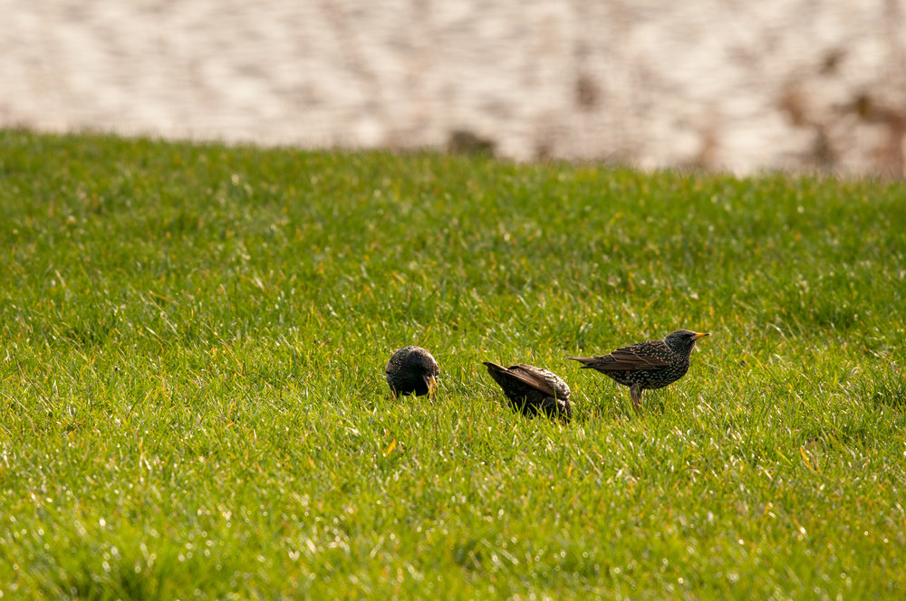 Ptaki Lochend - 2019 - MAR_4515.jpg