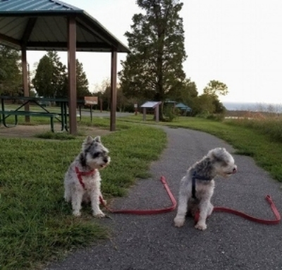 Rudy's two mini-schnauzer's, JC and Scooter.