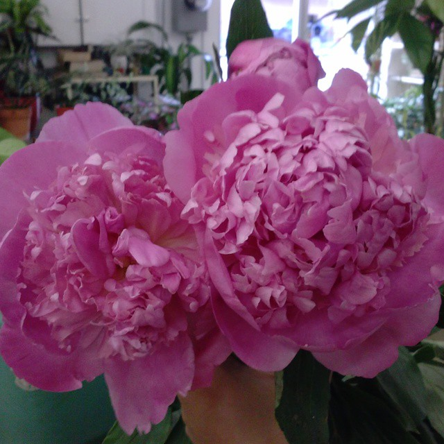 Big and beautiful #peonies