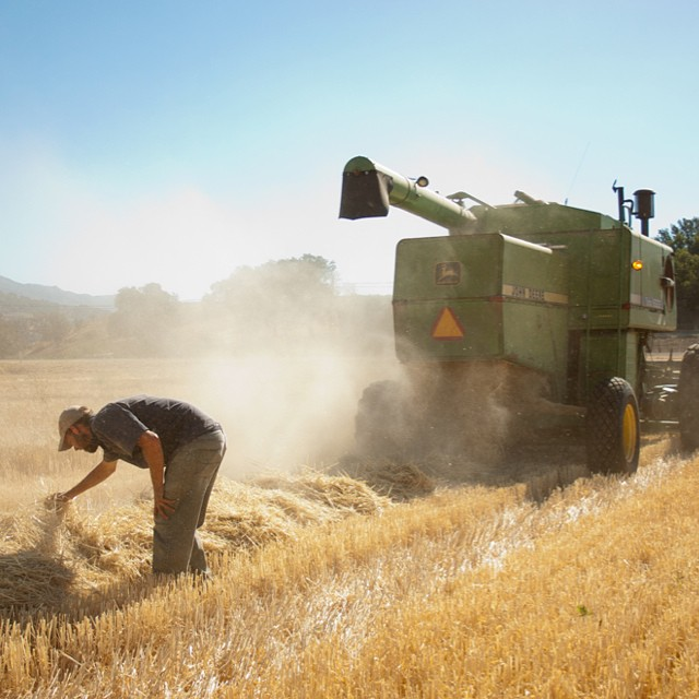 Harvest is an event every brewer should see. Here's to the growers! #camaltingco #craftmalt #barley #harvest